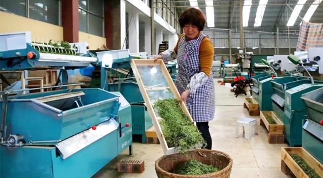 春茶贵如金,茶商如何在短时间内海量备货?